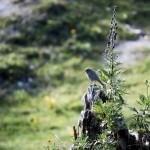 Ybbstalerhütte Vogel